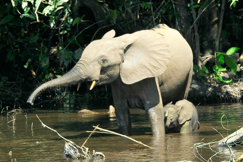 A female elephant with her baby, in the Congo.