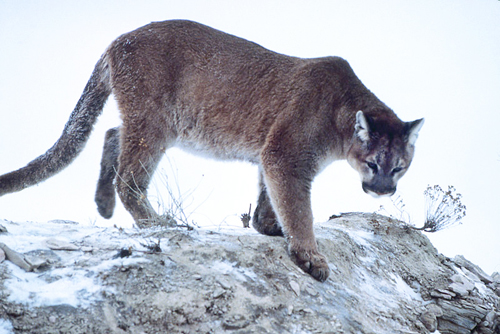 800px-Mountain-lion-01623