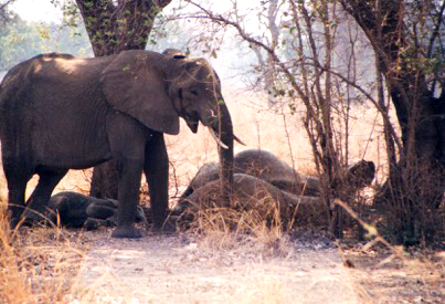 """Young """"Nanny"""" elephant with three sleeping babies."""