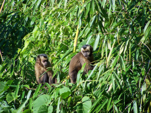 Brown Capuchin Monkeys, Peru