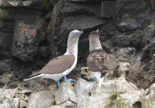 Blue-footed Booby by Ben Barkely - RAXA Collective