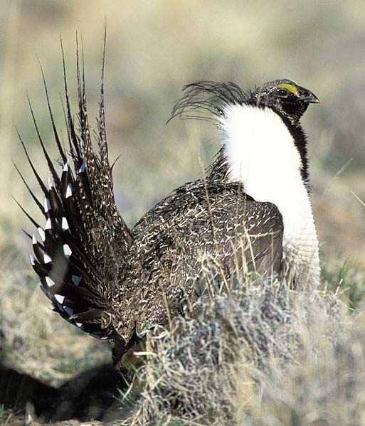 513px-SageGrouse21