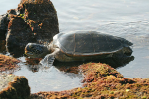 Green Sea Turtle, Big Island, Hawaii