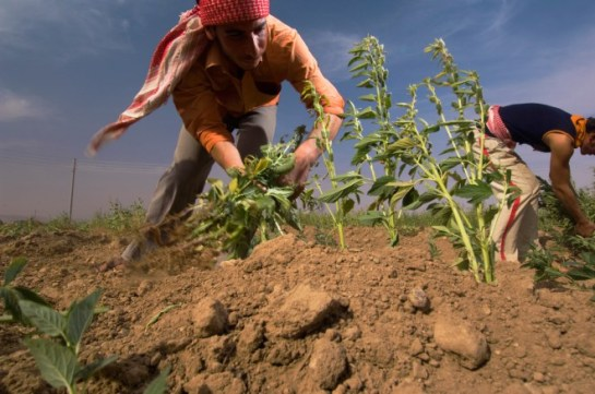 Farmers harvest sesame in Syria. PHOTO: JIM RICHARDSON