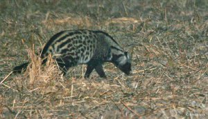African Civet, Zambia