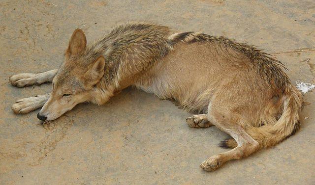 640px-Wolf picture via Farhan