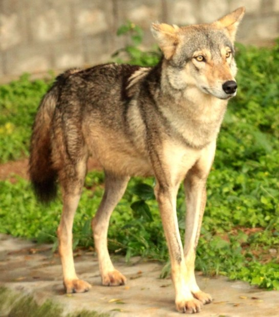 Indian-Wolf Picture via Pavan Kunder