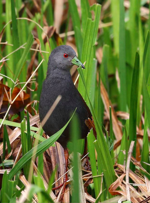 Black-tailed Crake by Gururaj Moorching - RAXA Collective