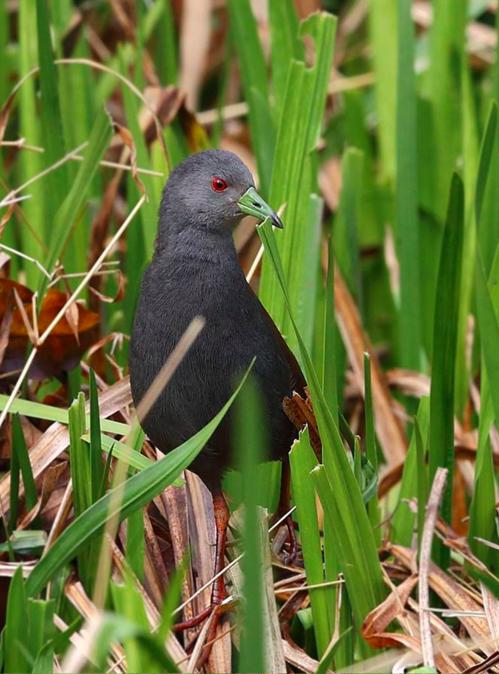 Black-tailed Crake by Gururaj Moorching - RAXA Collective