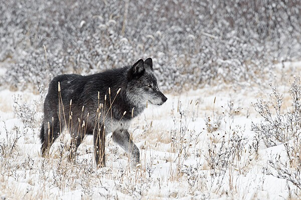 A collection of favorite wolf photographs by Canadian Wilderness photographer John E Marriott