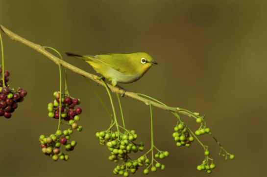 Oriental White-eye by Ramesh Desai - RAXA Collective