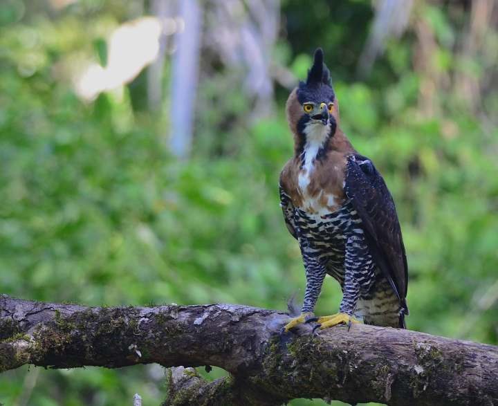 Ornate Hawk Eagle by Emil Flota - La Paz Group