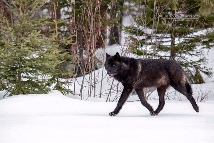 A call for Wisconsin wolf advocates to step forward to protect an endangeredspecies