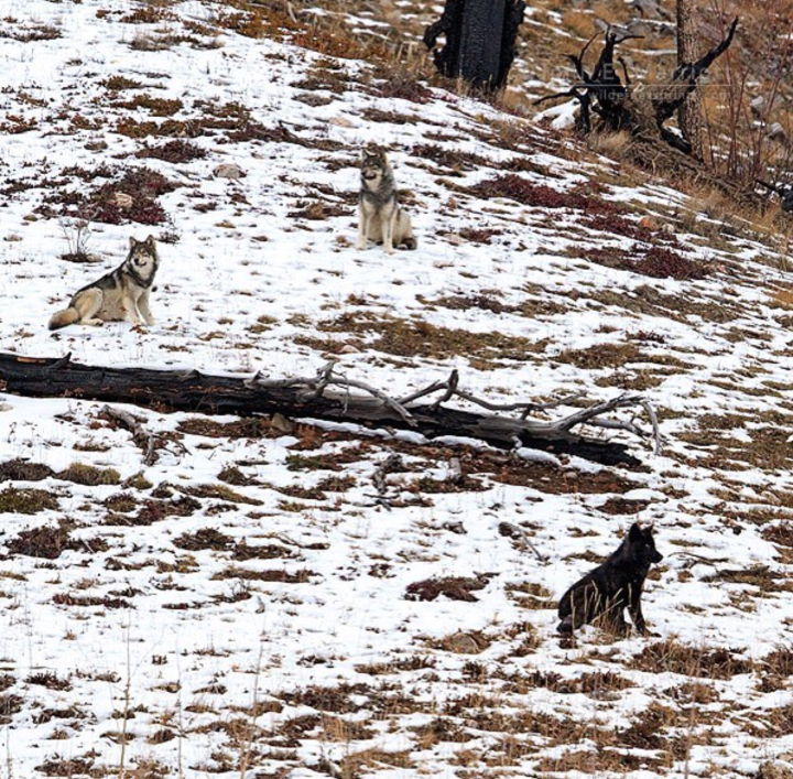 Letters to Senator Baldwin: Please do not remove wolves from the endangered specieslist…
