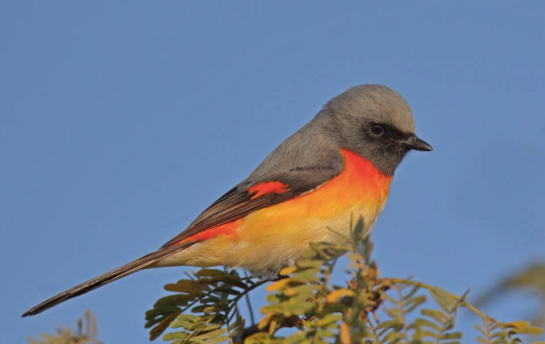 Small Minivet by Gururaj Moorching - La Paz Group