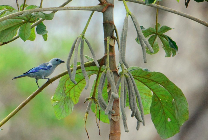 Blue-gray Tananger by Puneet Dhar - La Paz Group