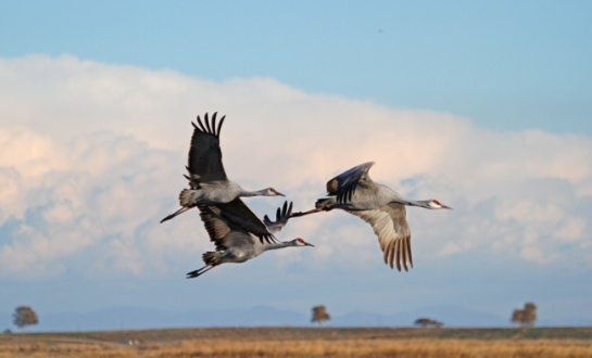 Sandhill Cranes near Cosumnes River Preserve, CA