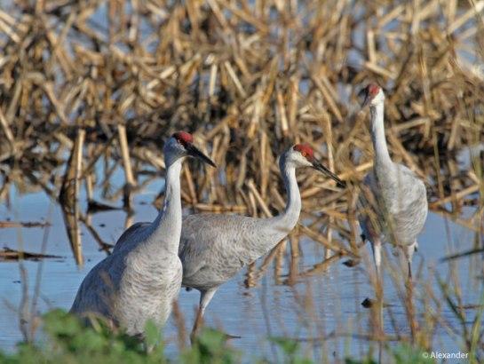 Sandhill Cranes, California