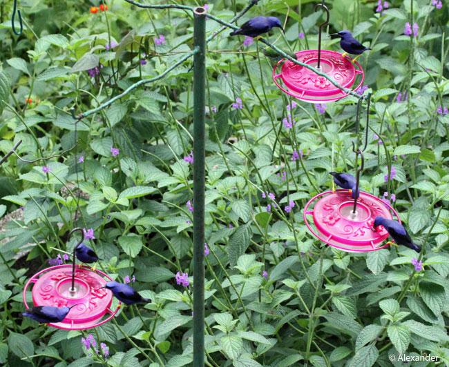 Purple honeycreeper males on nectar feeders, Asa Wright, Trinidad
