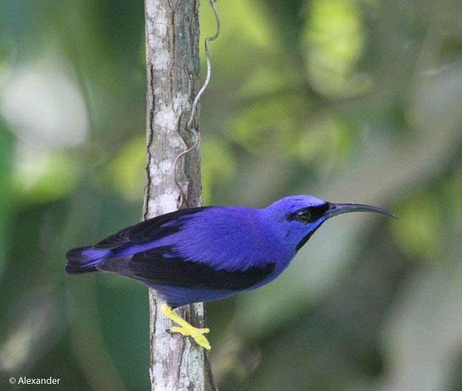 Purple honeycreeper, male; Asa Wright, Trinidad