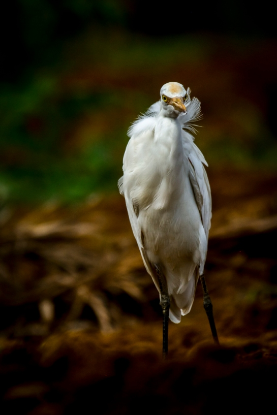 Great Egret by Chetan Krishnamurthy - La Paz Group